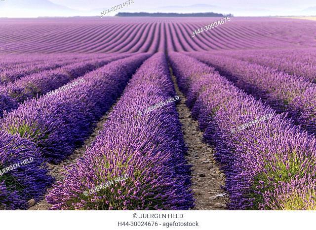 France, Provence-Alpes-Côte d'Azur, Plateau de Valensole, Lavender field