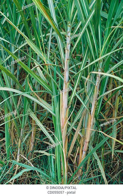 Sugar cane. Punjab. India