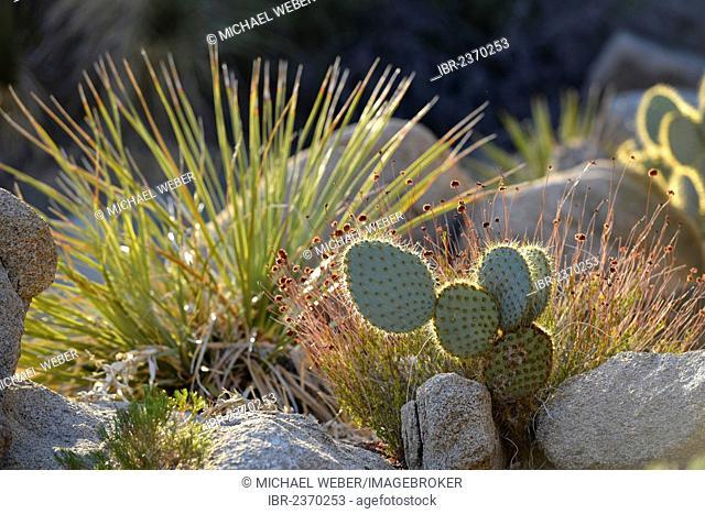 Nopales or Paddle Cactus (Opuntia), Hidden Valley, Joshua Tree National Park, Mojave Desert, California, Southwest, United States of America, USA
