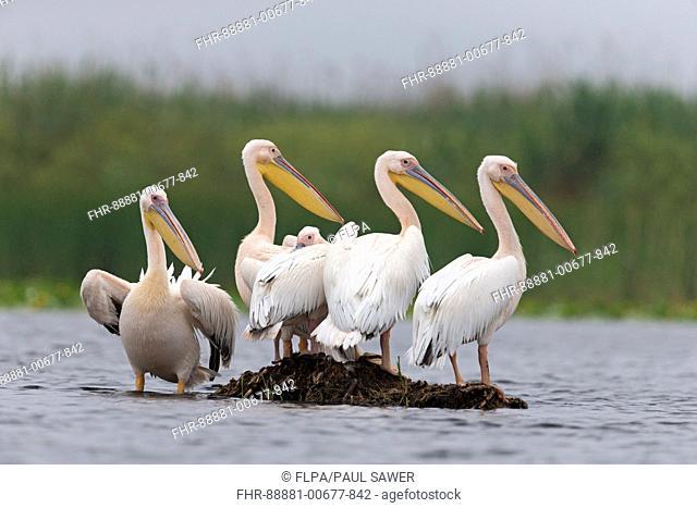 Great White Pelican (Pelecanus onocrotalus) 5 adults, breeding plumage, standing on small island, Danube Delta, Romania, June