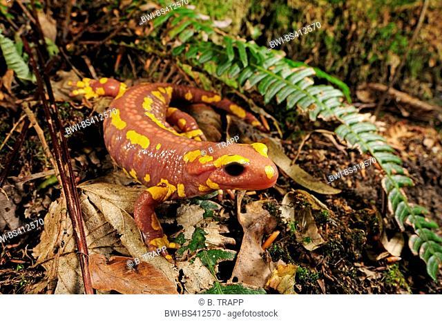 European fire salamander (Salamandra salamandra, Salamandra salamandra terrestris ), albino, juvenile, Germany, North Rhine-Westphalia, Bergisches Land