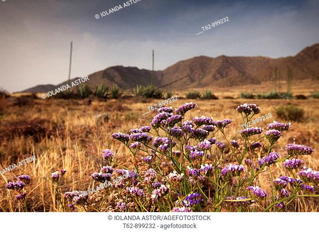 Wildflowers  Parque Natural del Cabo de Gata  Almeria, Andalusia, Spain