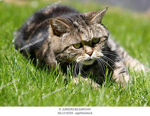 British Shorthair. Tomcat (11 years old) lying on a lawn. Germany