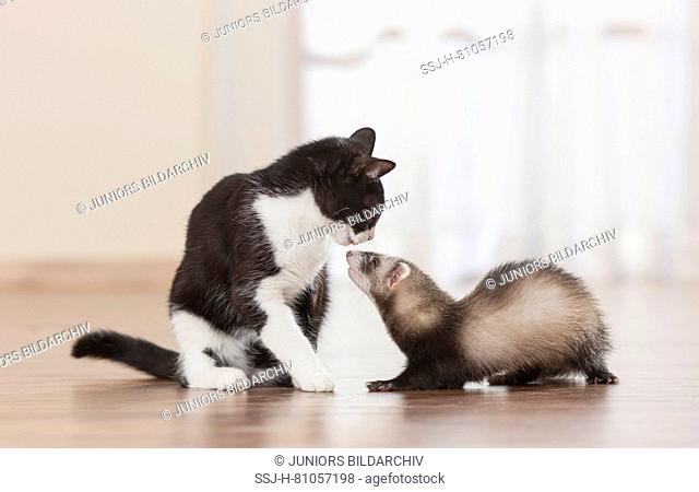Animal friendship: Ferret and adult domestic cat sniffing at each other. Germany