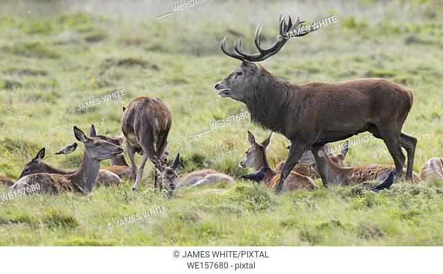Red deer stag, Richmond park, London, England