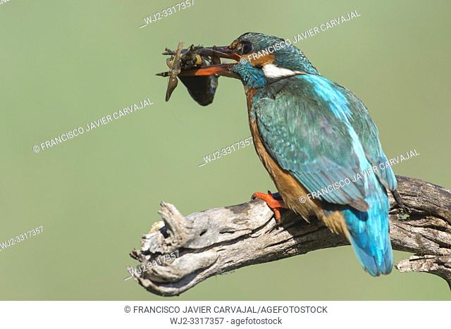 KIngfisher (Alcedo atthis) after catching a crab in the river, Extremadura, Spain