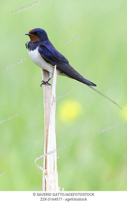 Barn Swallow (Hirundo rustica), adult perched on a reed, Atena Lucana, Campania, Italy