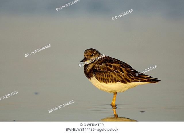 ruddy turnstone Arenaria interpres, standing in shallow water, Netherlands, Ameland