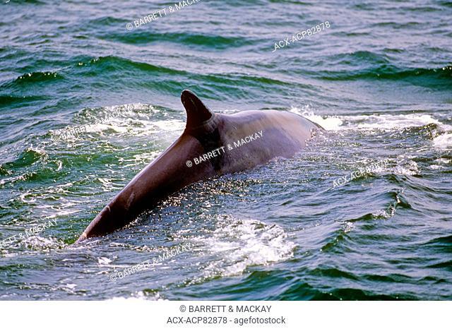 Fin Whale, (Balaenoptera physalus), Mingan Islands, Quebec, Canada