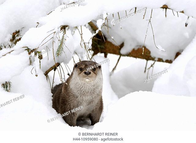 Otter, Lutra lutra, hairy-nosed otter, mustelidae, martens, predators, canids, otters, water, predator, fish marten, winter, animal, animals, Germany, Europe