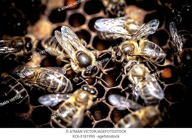 Apis mellifera honey bees swarming on a beehive. Tenerife, Canary Islands, Spain