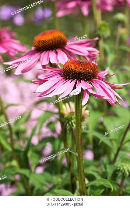 Two echinacea flowers