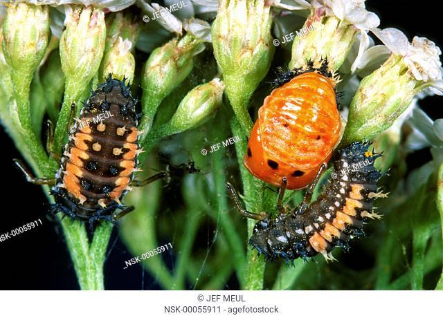 Asian Ladybird Beetle (Harmonia axyridis) larvae and one pupa on flowers, Belgium