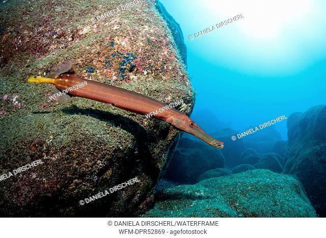 Trumpetfish, Aulostomus chinensis, Cabo San Lucas, Baja California Sur, Mexico