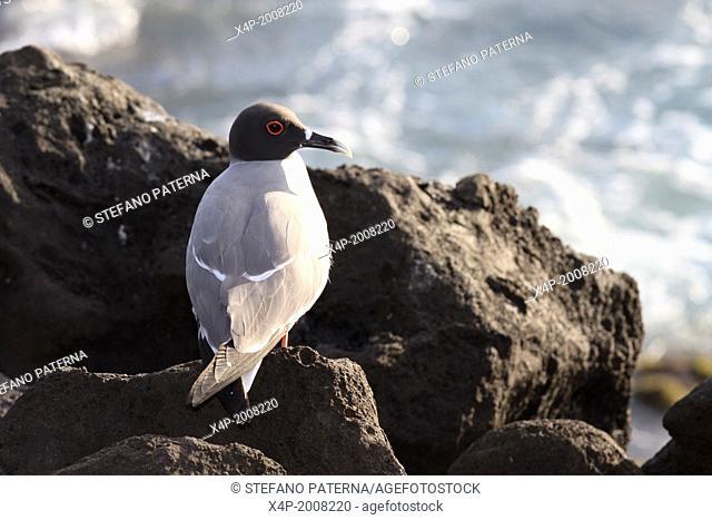 Swallow-tailed Gull, Creagrus furcatus, San Cristobal Island, Galapagos Islands, Ecuador