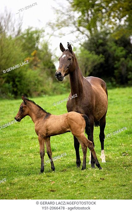 Akhal Teke, Horse Breed from Turkmenistan, Mare and Foal