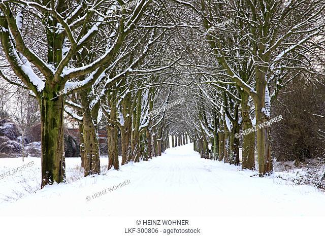 Alley of chestnuts near Herten, Ruhr area, North Rhine-Westphalia, Germany