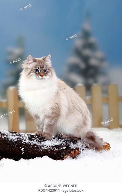 Neva Masquarade, blue-silver-tabby-point