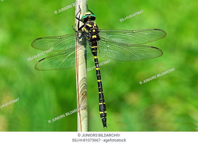 Golden-ringed Dragonfly (Cordulegaster boltoni) resting on reed stalk. Germany
