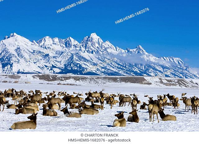 United States, Wyoming, Jackson Hole, winter migration of the wapiti, Grand Teton National Park in the backdrop