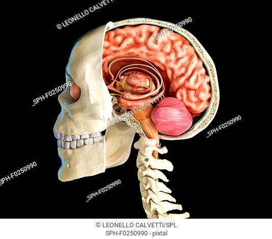Human skull cross-section with brain, illustration