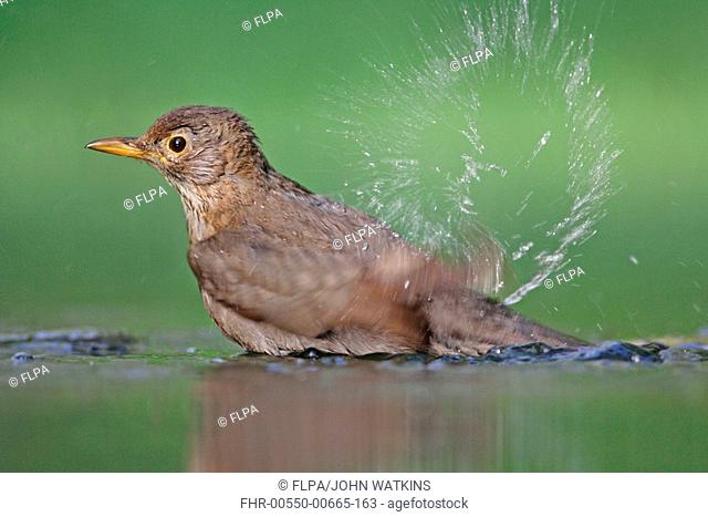 European Blackbird Turdus merula adult female, bathing in woodland pool, Hungary, summer