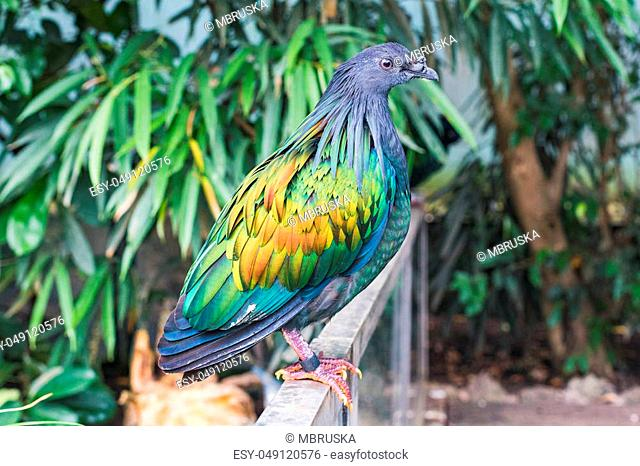 Closeup of a beautiful and colorful nicobar pigeon bird switzerland