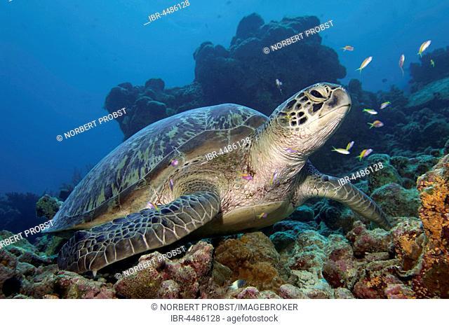 Green turtle (Chelonia mydas) sitting in coral reef, Indian Ocean, Maldives