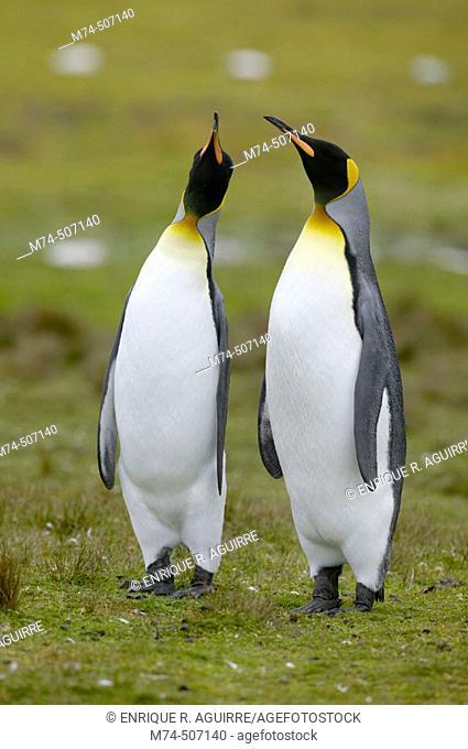 King Penguin (Aptenodytes patagonicus) Falkland Islands