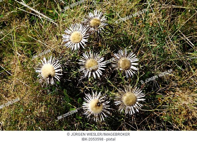 Stemless carline thistles, Dwarf carline thistles or Silver thistles (Carlina acaulis)