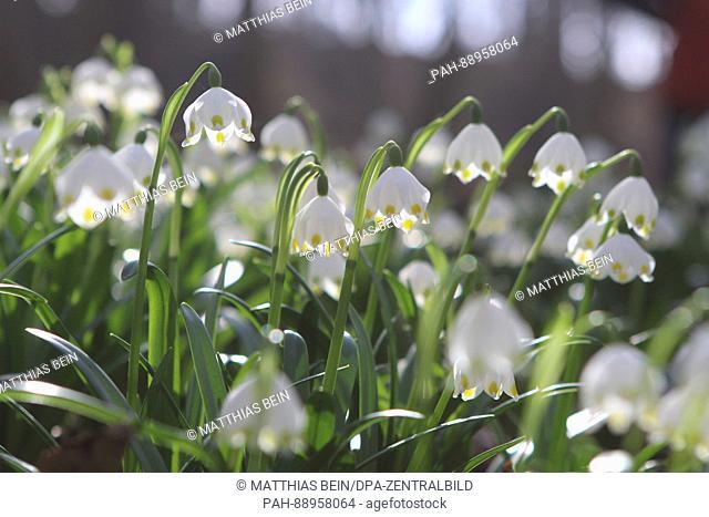 Spring snowflakes (Leucojum vernum) blossom in the nature reserve 'Gegensteine-Schierberge' near Ballenstedt, Germany, 12 March 2017