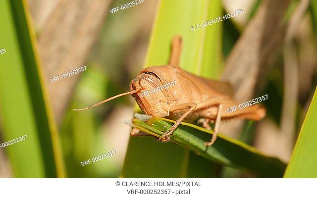 A Mischievous Bird Grasshopper (Schistocerca damnifica) perches on vegetation in Highlands Hammocks State Park, Sebring, Florida