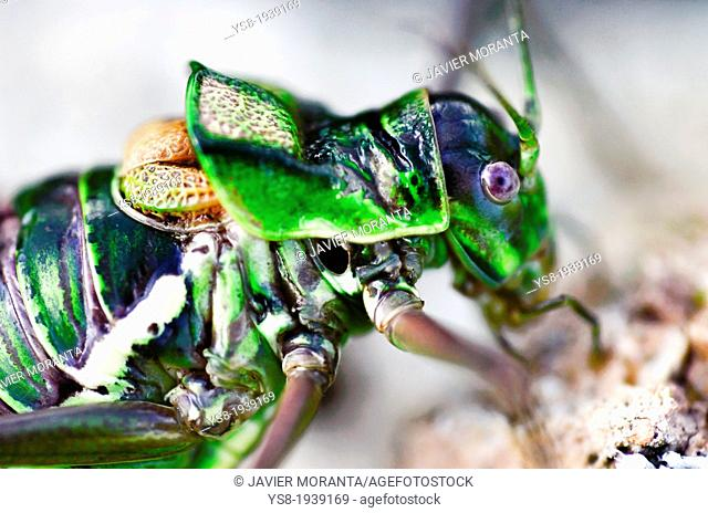 Bush cricket (Ephippiger cruciger), Majorca, Balearic Islands, Spain