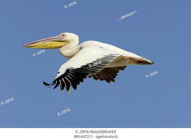 White Pelican, or Eastern White Pelican, or Great White Pelican (Pelecanus onocrotalus), flying adult, Lake Nakuru, Kenya, Africa