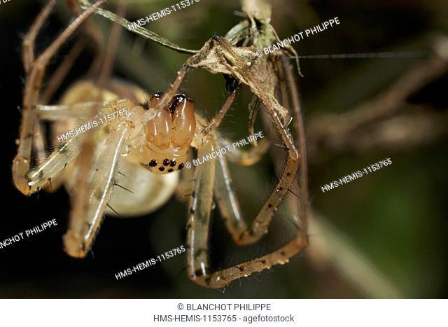 France, Araneae, Tetragnathidae (Metidae), Lesser garden spider or Autumn spider (Metellina segmentata), female