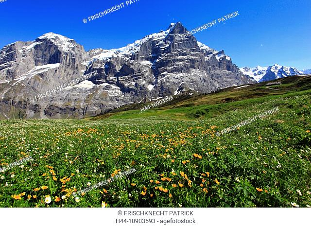 Alp, alps, flora, view, mountain, mountains, mountain flora, mountain spring, mountain massif, Bern, Bernese Oberland, flowers, ranunculus, rock face, flora