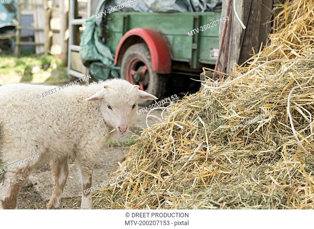 Lamb standing at heap of straw in barn, Bavaria, Germany