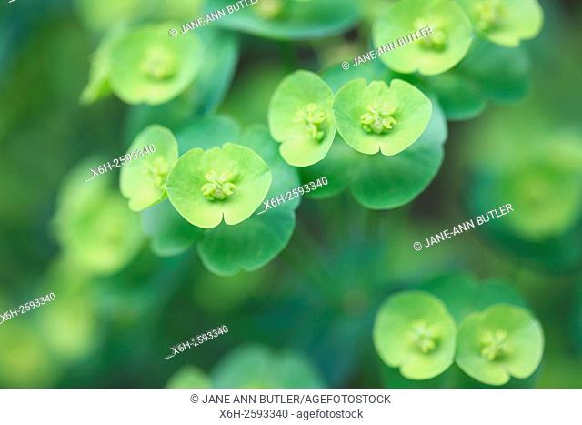 abundant evergreen euphorbia rosettes, rounded sprays of yellow-green flowers