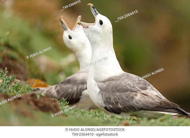 Northern Fulmar Fulmaris glacialis. Ireland