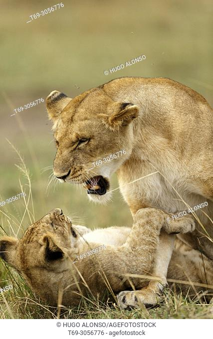 Lions playing. Panthera Leo. Kenia. Africa
