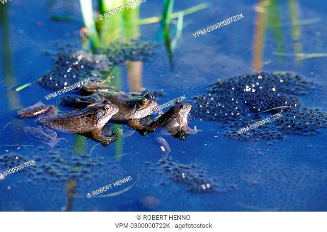 RANA TEMPORARIACOMMON FROGSPRING - MEETING IN POND FOR MATING