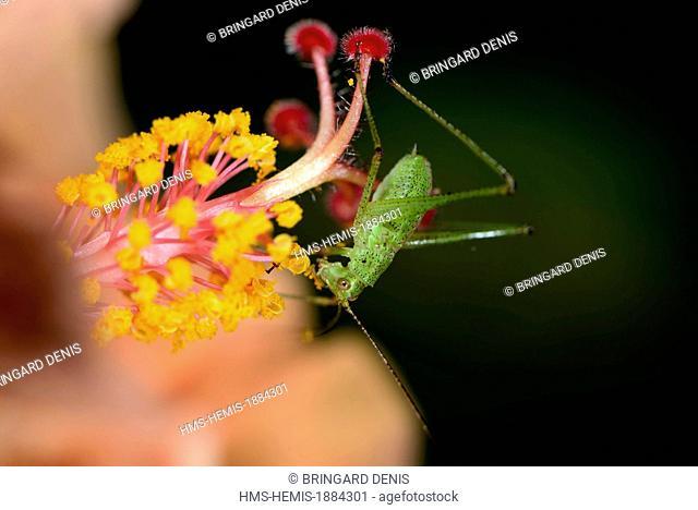 France, Territoire de Belfort, garden, green grasshopper larva eating the pollen of a flower hybiscus