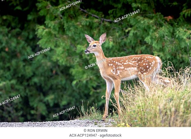 White-tailed Deer fawn (Odocoileus virginianus), Barrie Island, Manitoulin Island, Ontario, Canada