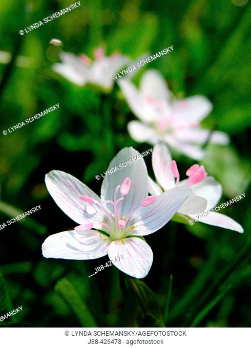 Spring Beauty (Claytonia virginica). Appalachian foothills, Southeast Ohio. USA
