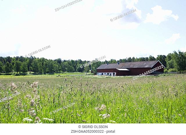 Field of tall grass, barn in distance