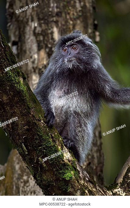 Silvered Leaf Monkey (Trachypithecus cristatus) female in tree, Bako National Park, Sarawak, Borneo, Malaysia