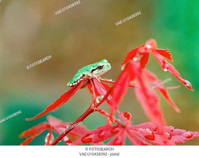 treefrog, nature, leaf, amphibian, animal, film
