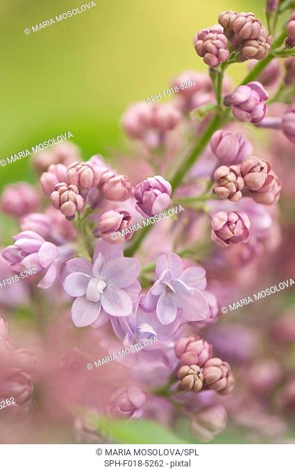Lavender blue double lilac (Syringa vulgaris 'Nancy Reagan')