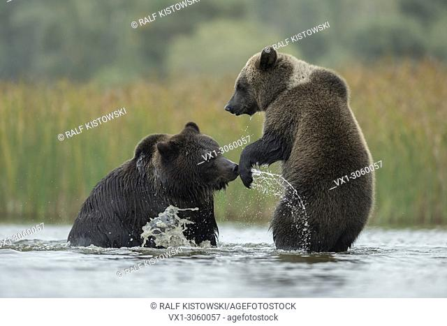 Brown Bears (Ursus arctos) fighting, struggling, playful fight, standing on hind legs in the shallow water of a lake, Germany, Europe