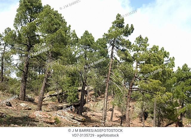 Maritime pine or cluster pine (Pinus pinaster) is a coniferous tree native to Mediterranean Basin, specially to Iberian Peninsula